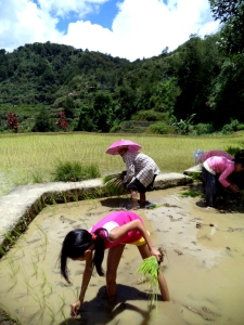 Planting Rice 2013