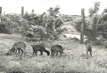 1948 Quezon City Hall Park Zoo, Deer donated by Lorenzo Martinez Tañada Sr. (1898-1992)