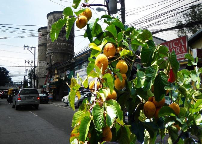 01 Bonny Serrano Avenue & Santol Tree (Cotton Fruit Tree, Sandoricum koetjape)