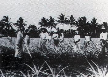 1930s Pinapple Plantation