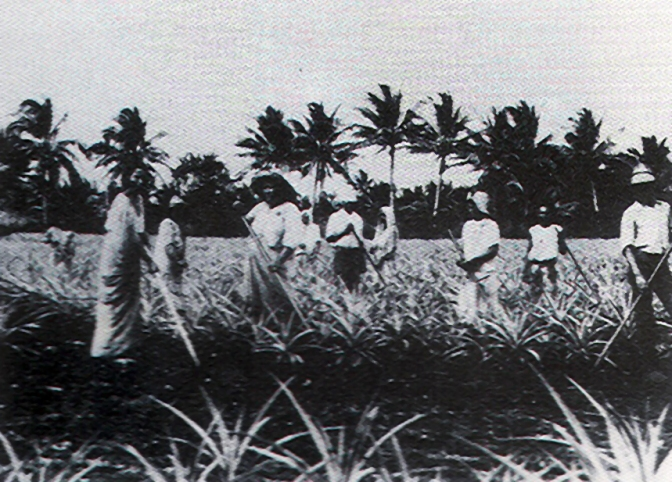 18 1930s A Pinapple Farm in the Philippines